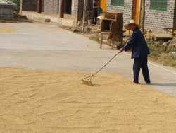 Raking our wheat to dry in the street.