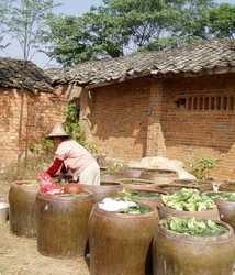 Cabbage fementing