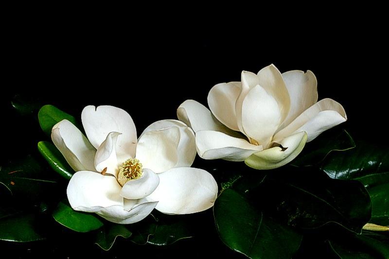 IMG 0095 065 017 Magnificant Magnolias